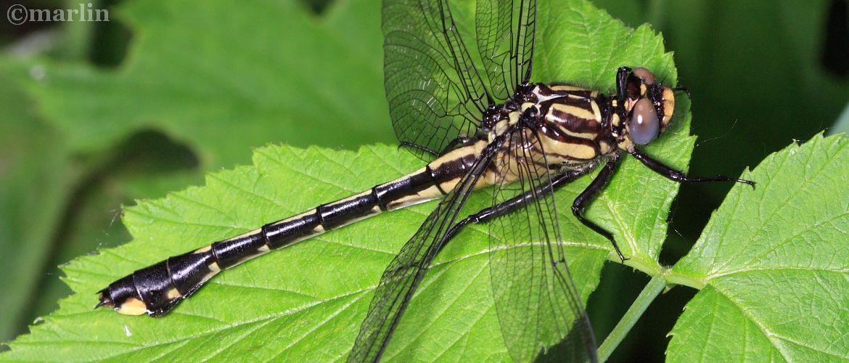 Plains Clubtail Dragonfly - Gomphus externus