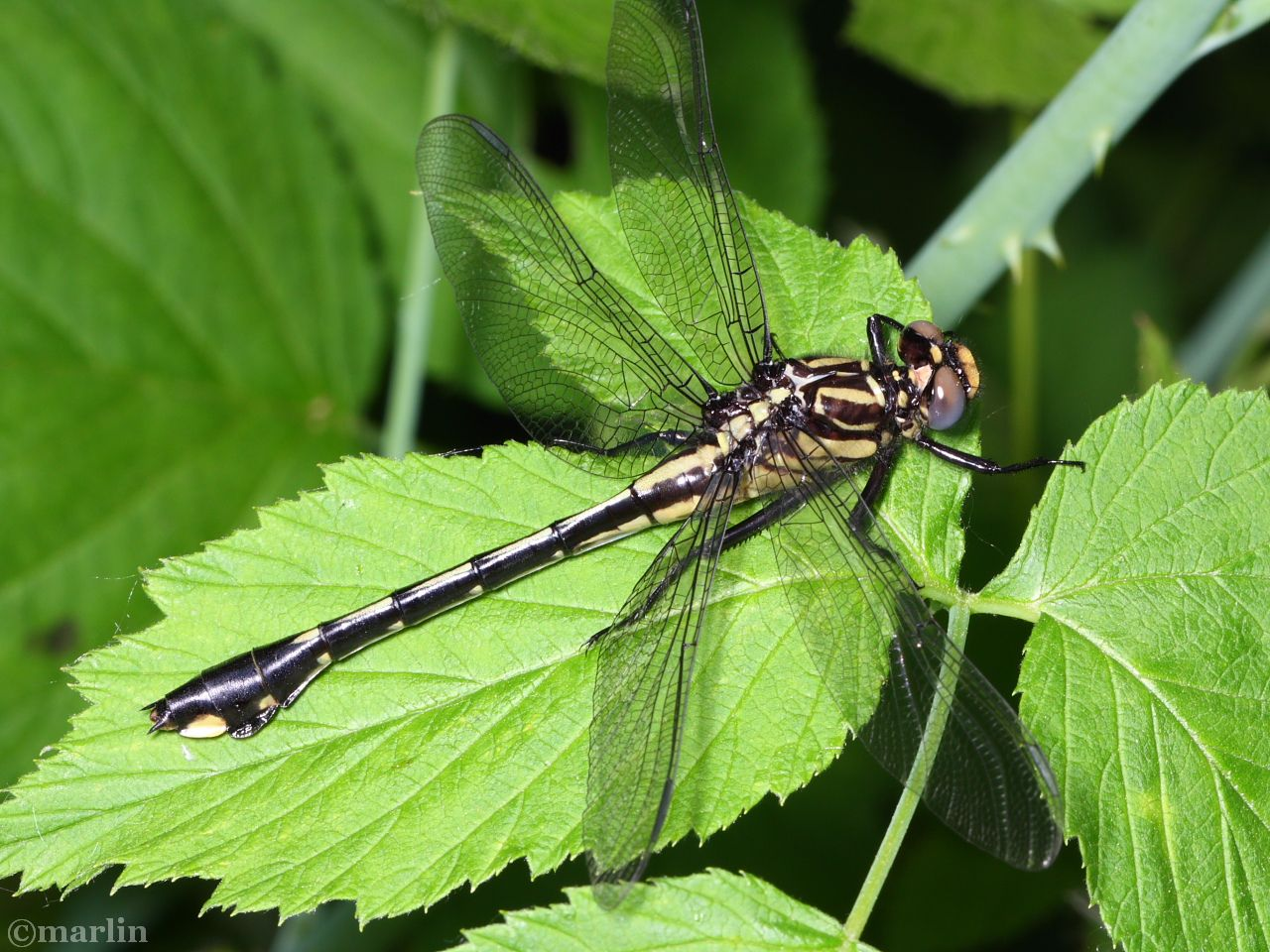 Plains Clubtail Dragonfly Male - Gomphus externus