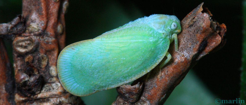 Flatid Planthopper - Ormenoides venusta