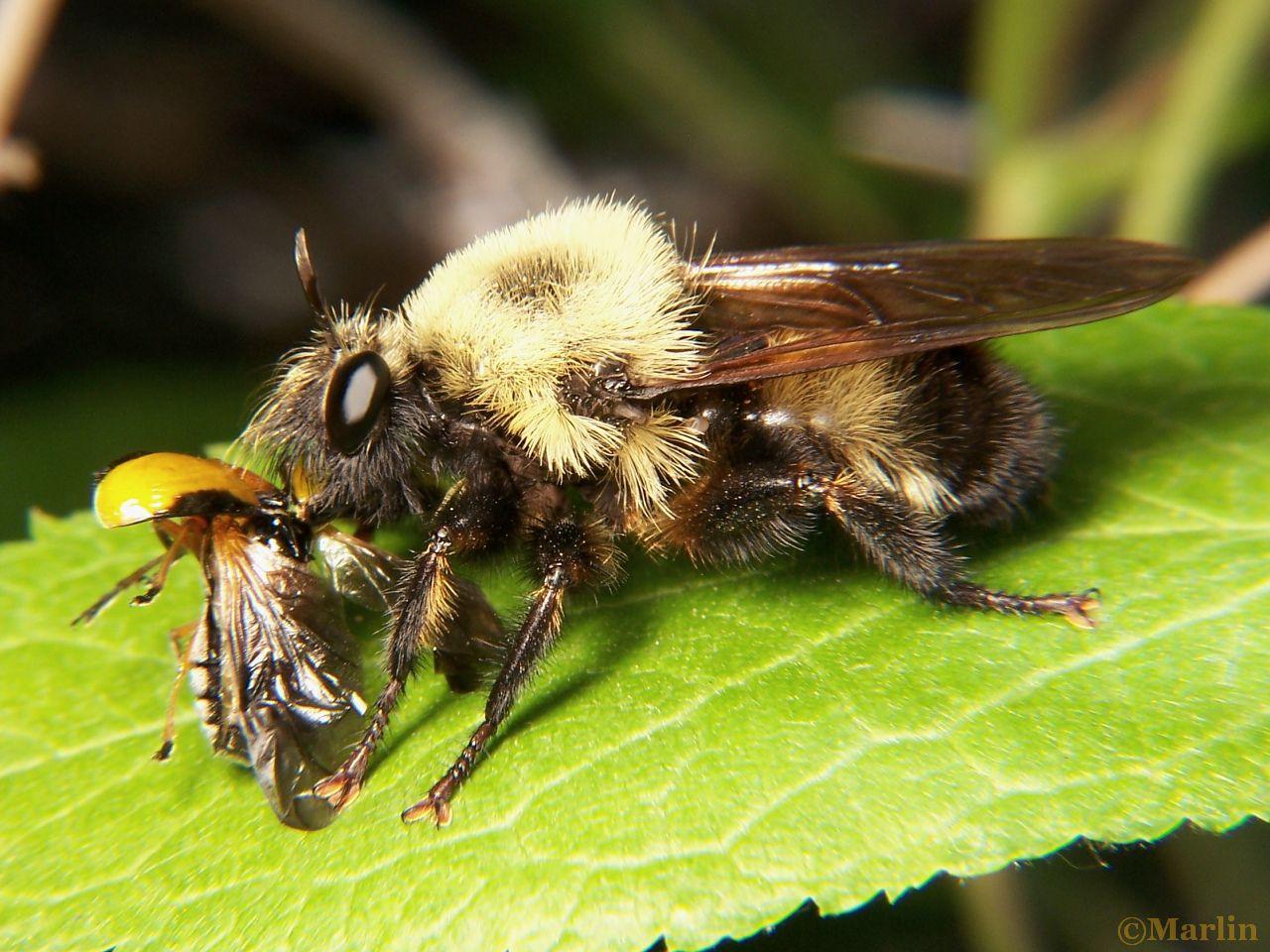 Female Robber Fly, Laphria grossa