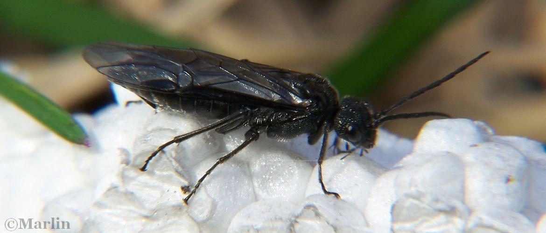 Sawfly Dolerus nitens