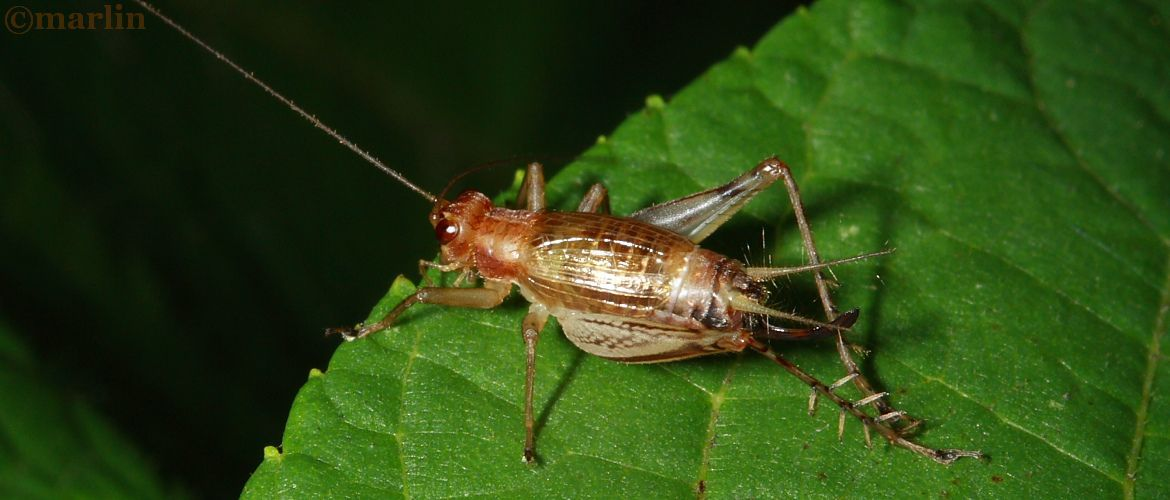 Say's Trig Cricket - Anaxipha exigua