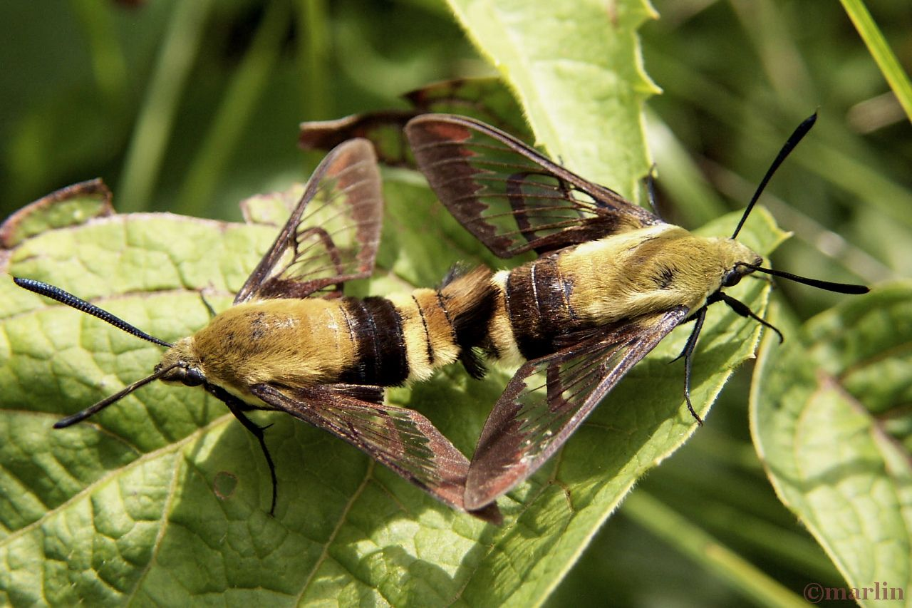 Snowberry Clearwing Moth - Hemaris diffinis