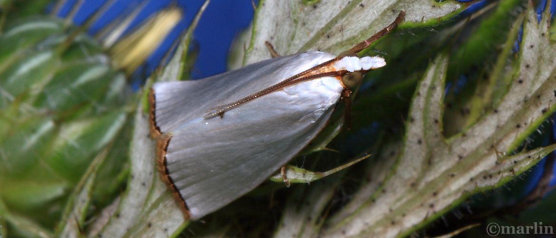 Snowy Urola Moth - Urola nivalis - Hodges#5464