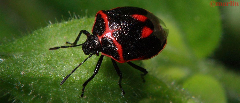 Stink bug - Cosmopepla bimaculata