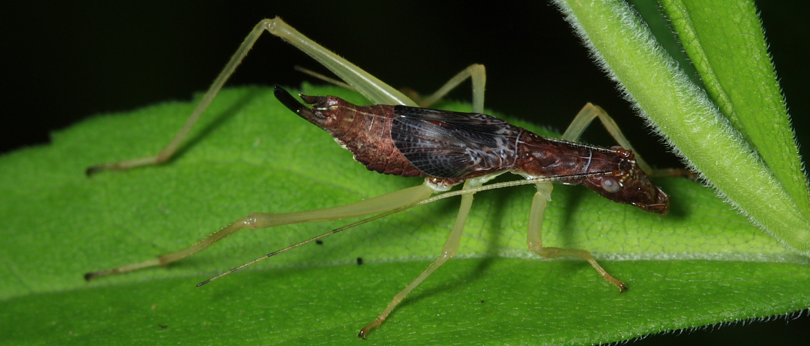 Two-Spotted Tree Cricket - Neoxabea bipunctata