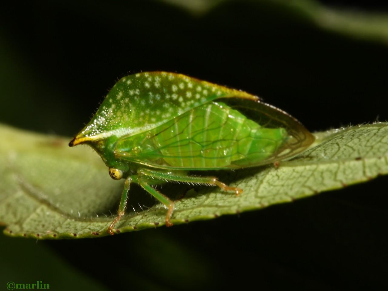 Treehopper Ceresa taurina