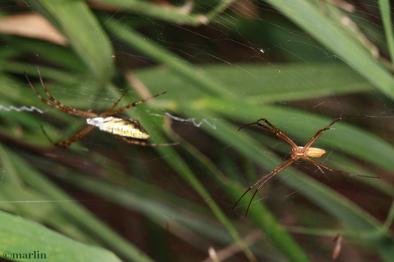 Banded Garden Spider Male