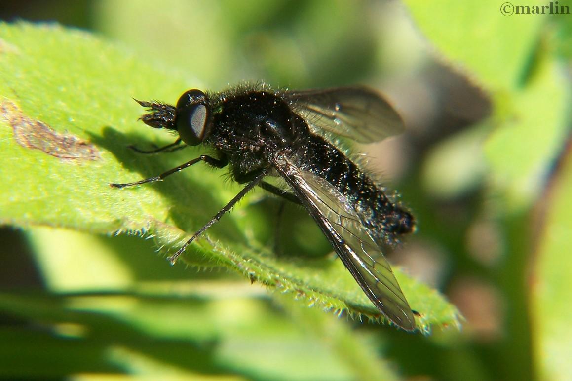 Bee Fly, Aldrichia species