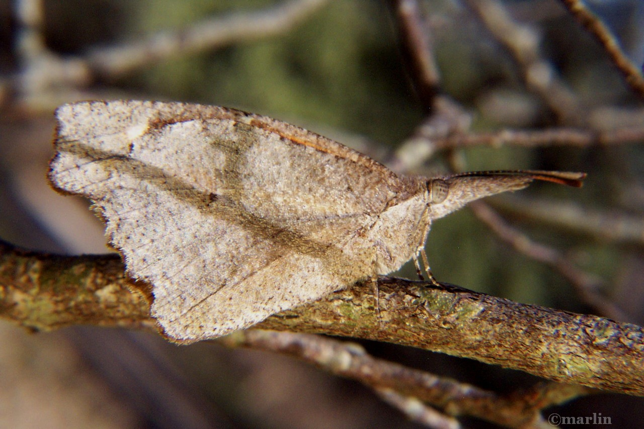 snout butterfly twig shadow camouflage