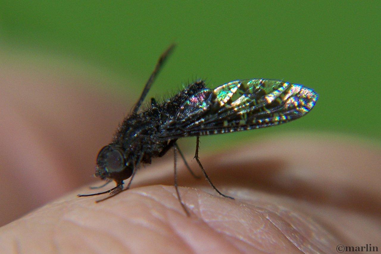 bee fly, Antrax species
