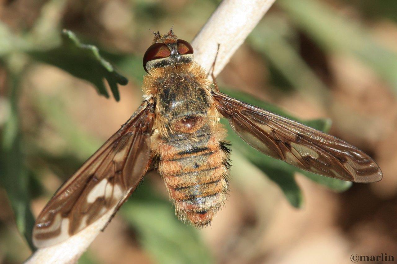 Bee fly, Poecilanthrax willistonii