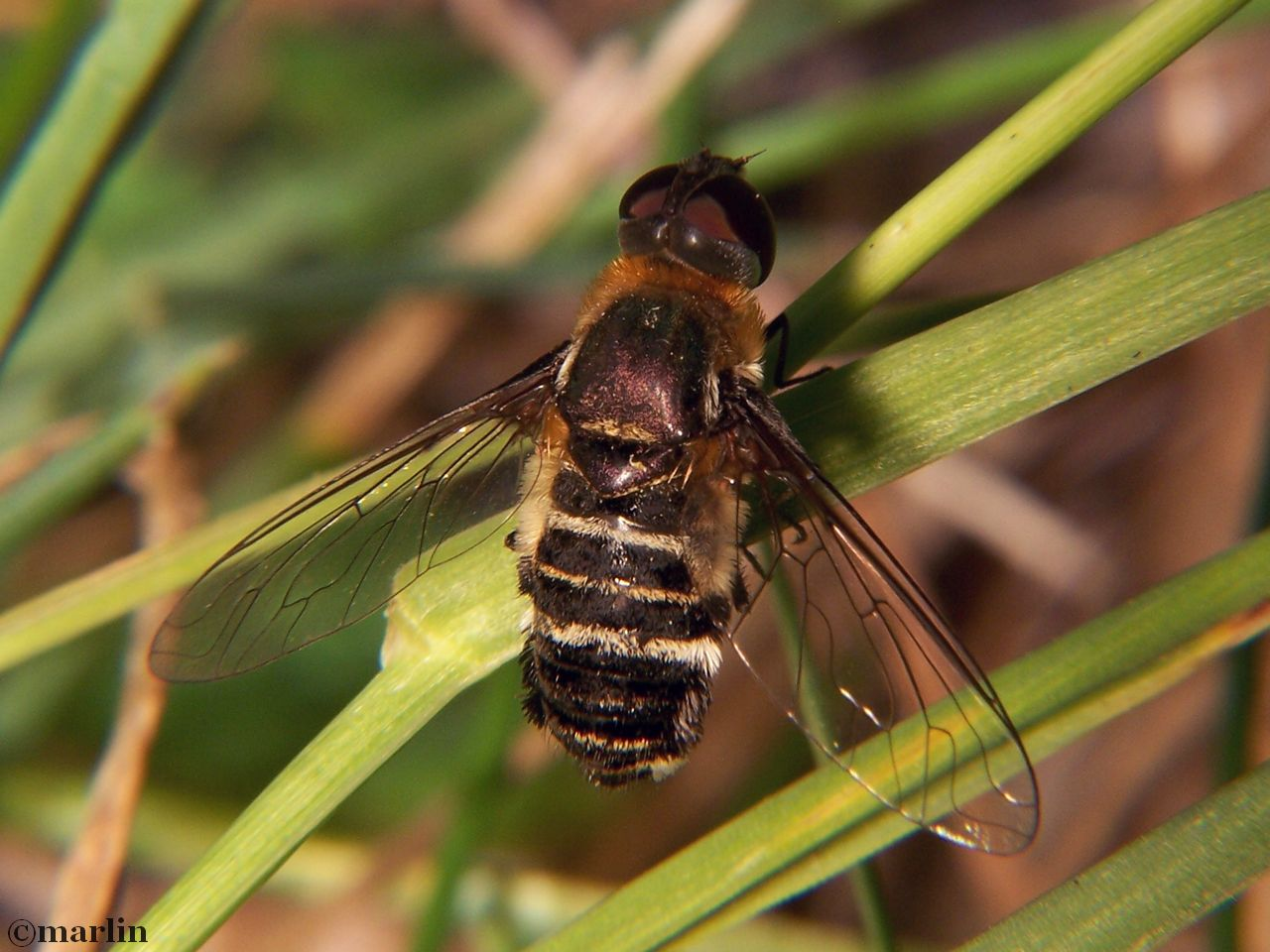 Bee fly, Villa species
