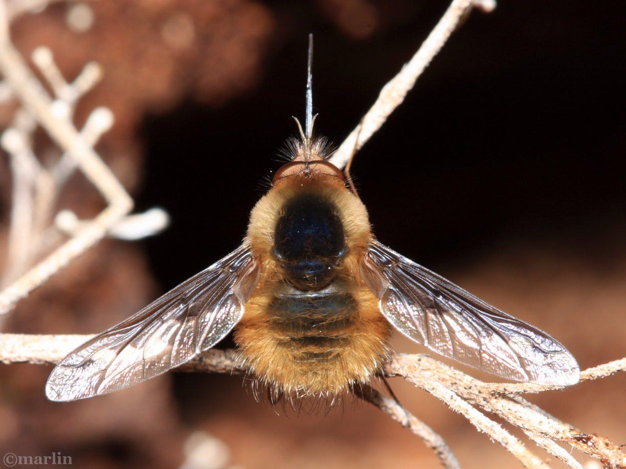 Bee Fly Bombylius major