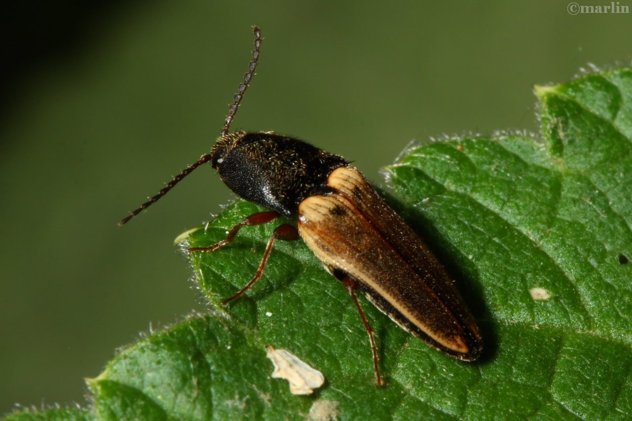 Click Beetle - Ampedus species