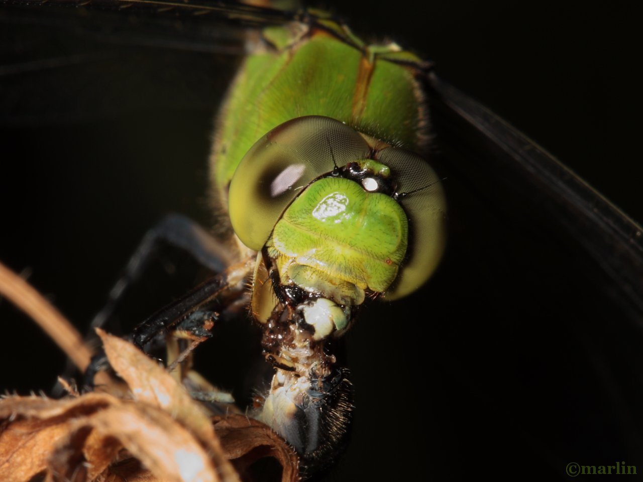 pondhawk face detail