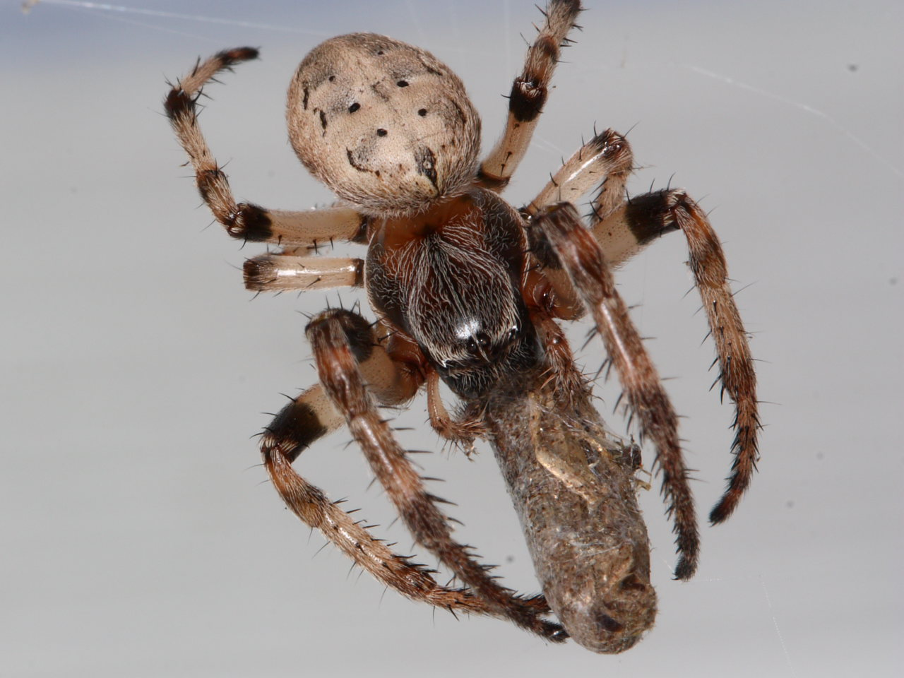 Furrow orbweaver with moth prey