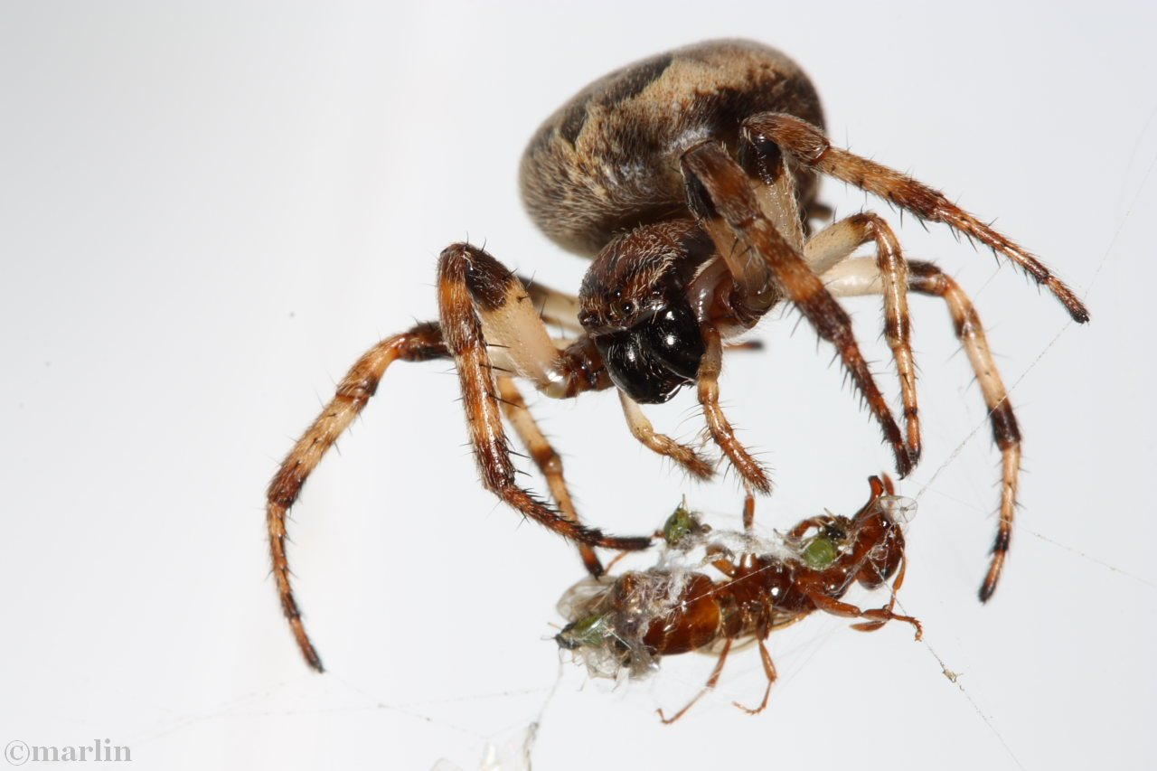 furrow spider with queen ant prey