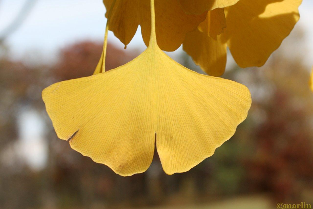 Ginkgo autumn leaflet