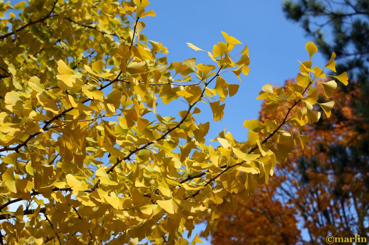 Ginkgo fall foliage
