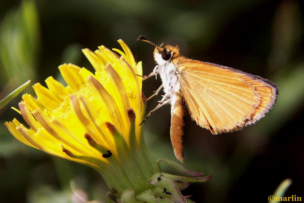Least skipper on dandelion