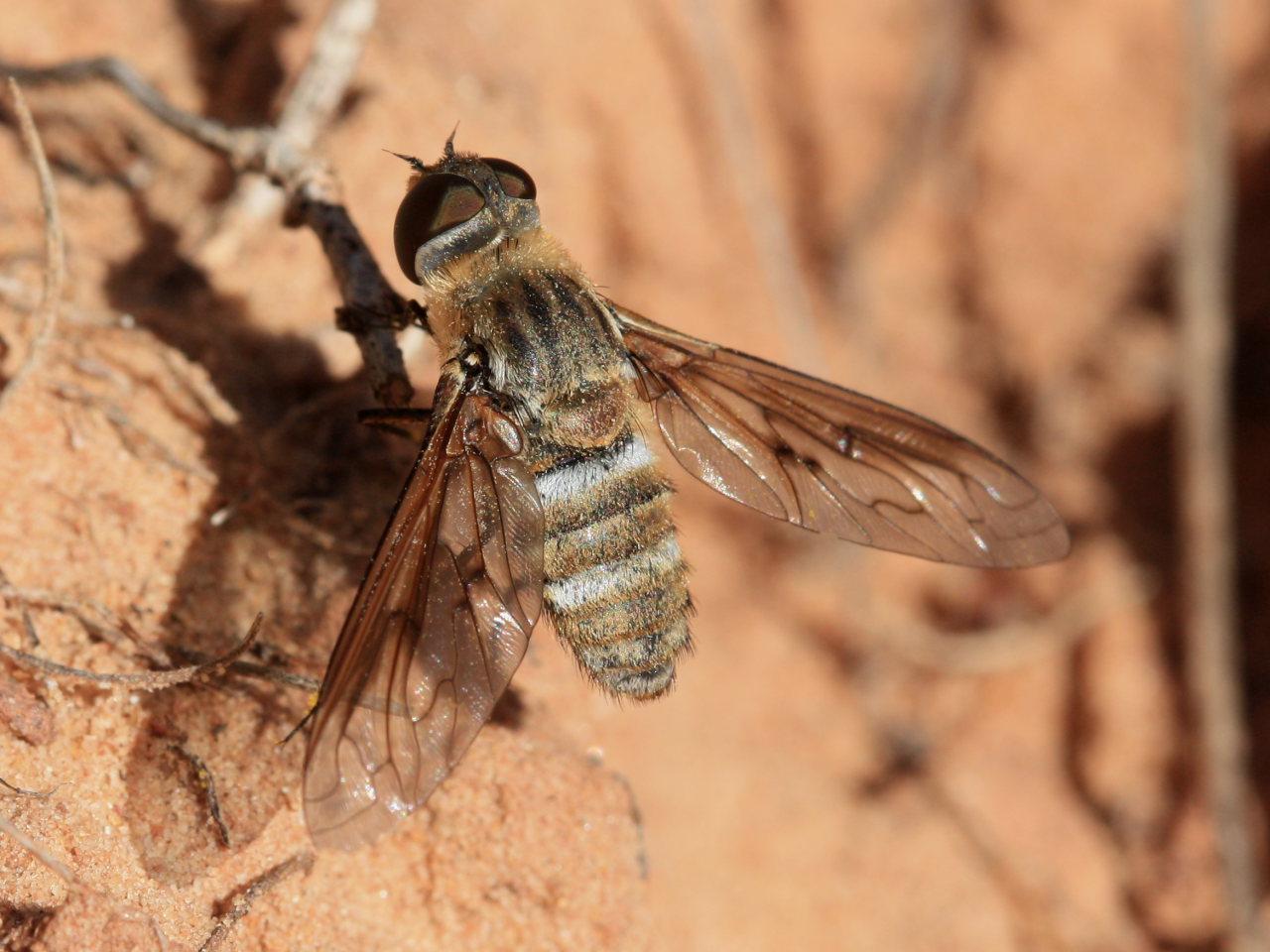 Bee Fly Paravilla californica