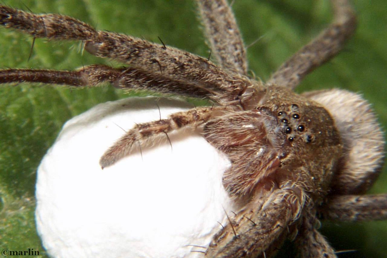 Nursery web spider with egg sac