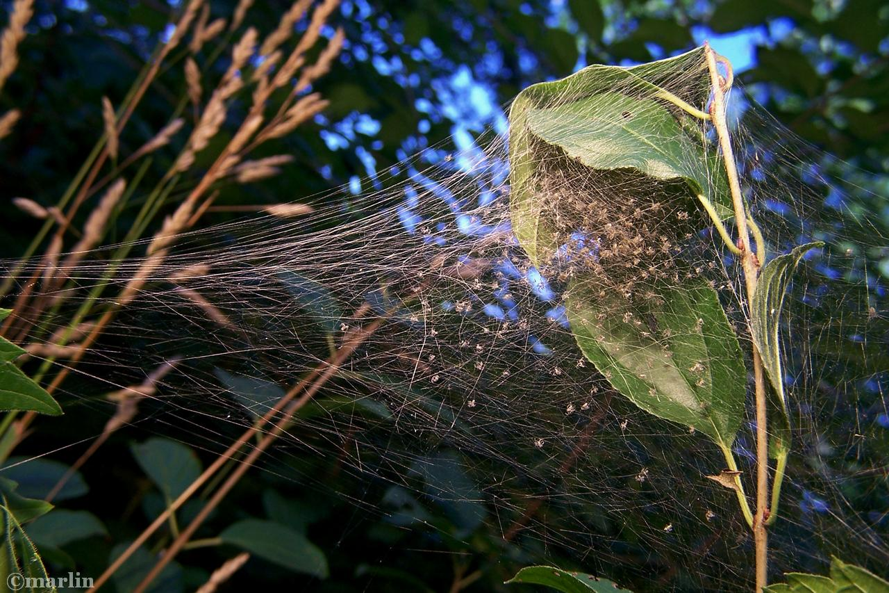 Nursery web with spider hatchlings
