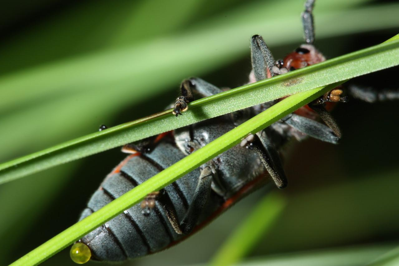 red milkweed beetle ventral