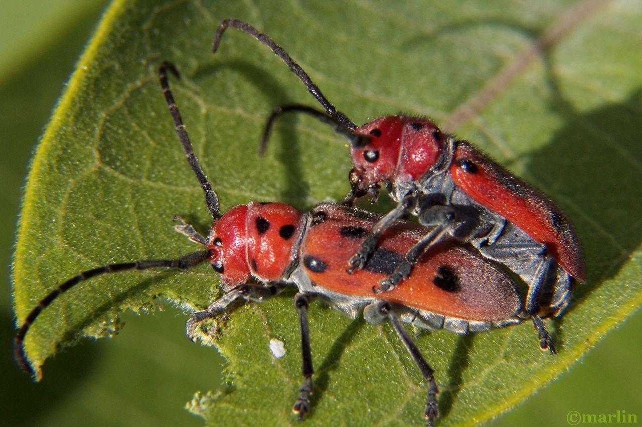 red milkweed beetles mating