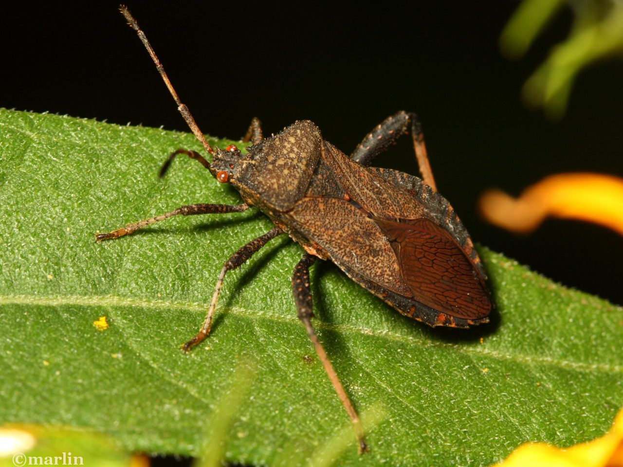 Leaf-Footed Bugs - North American Insects & Spiders