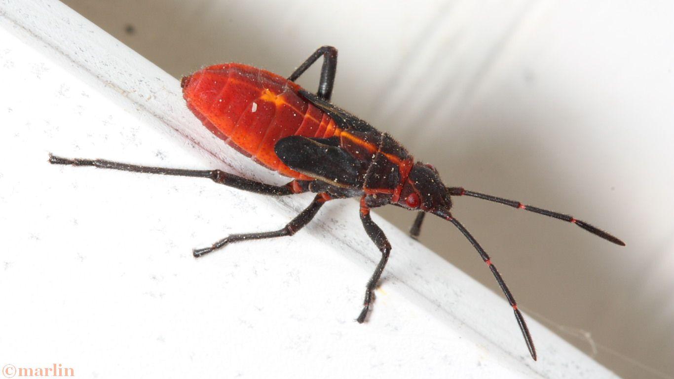 Box elder bug late instar