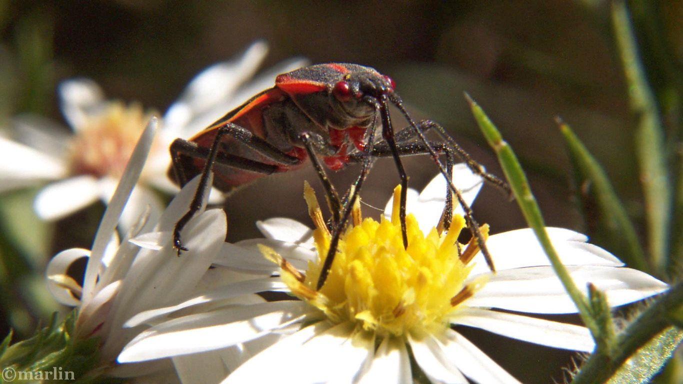 box elder bug pollinator
