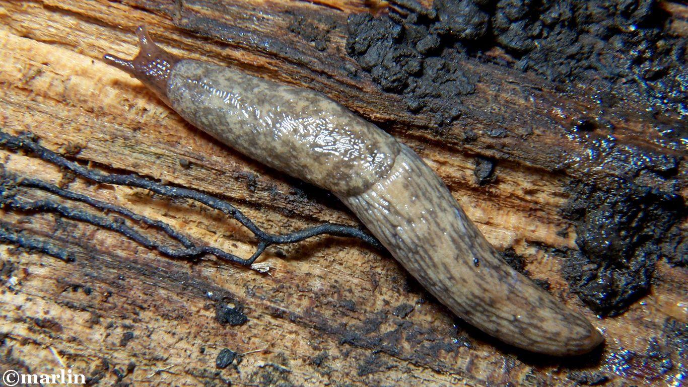 Gray Garden Slug