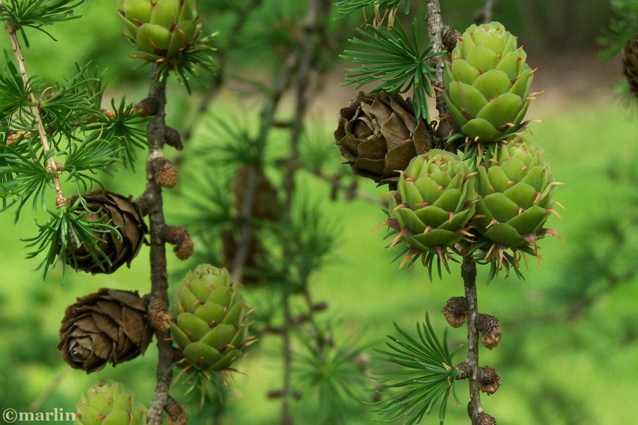 Prince Rupert Larch Cones