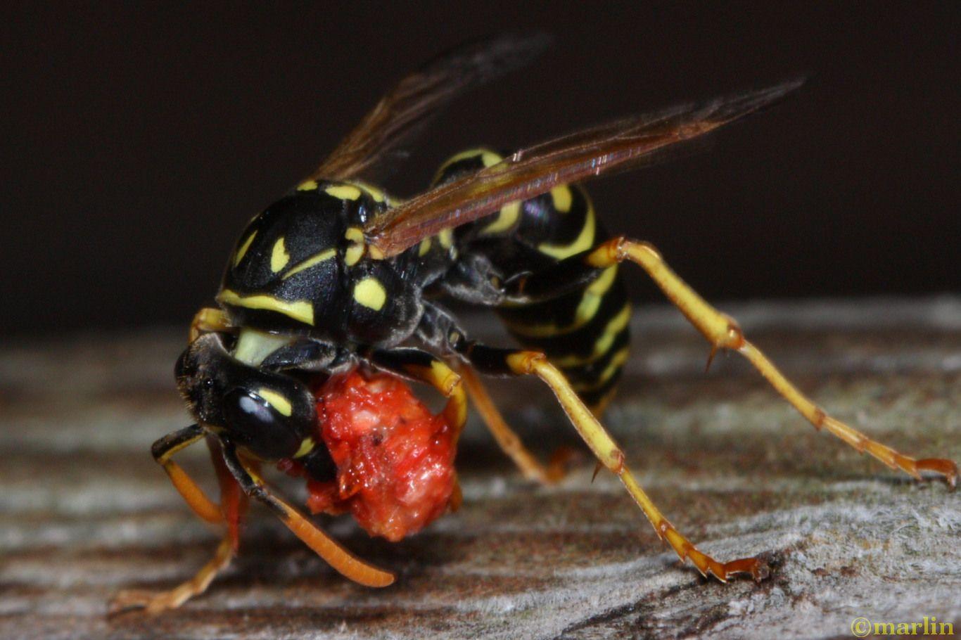paper wasp vs box elder bug