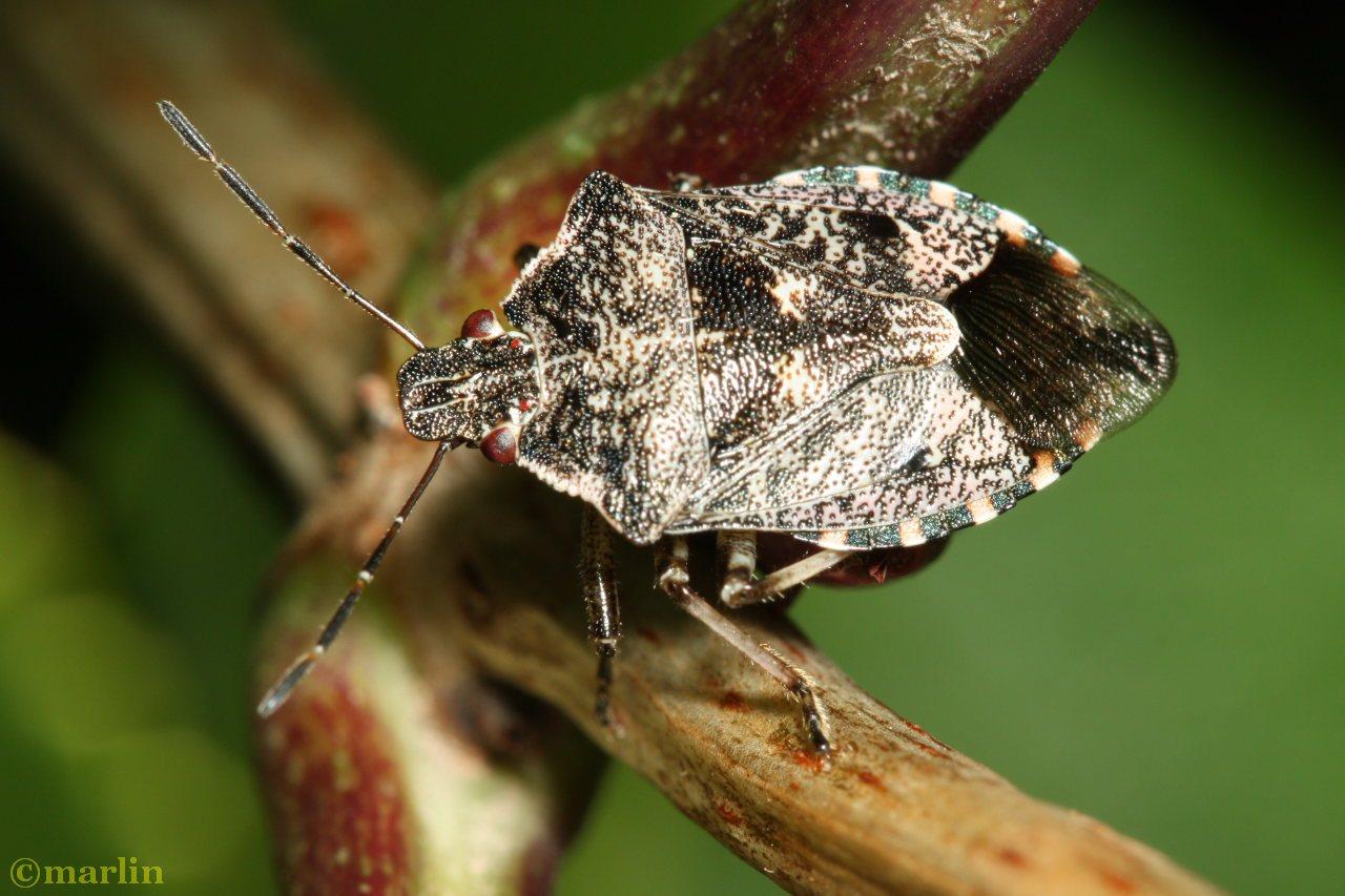 stink bug Apateticus lineolatus