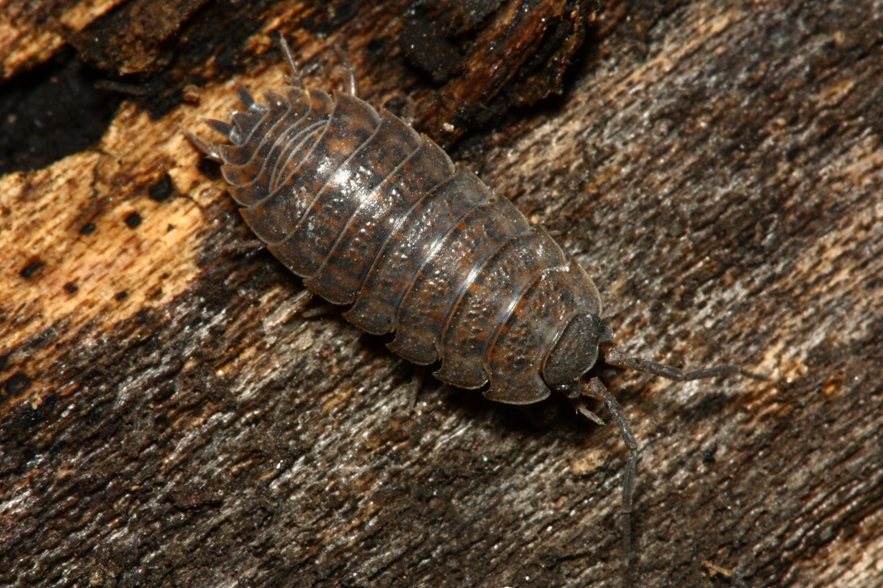 Woodlouse - Trachelipus rathkii