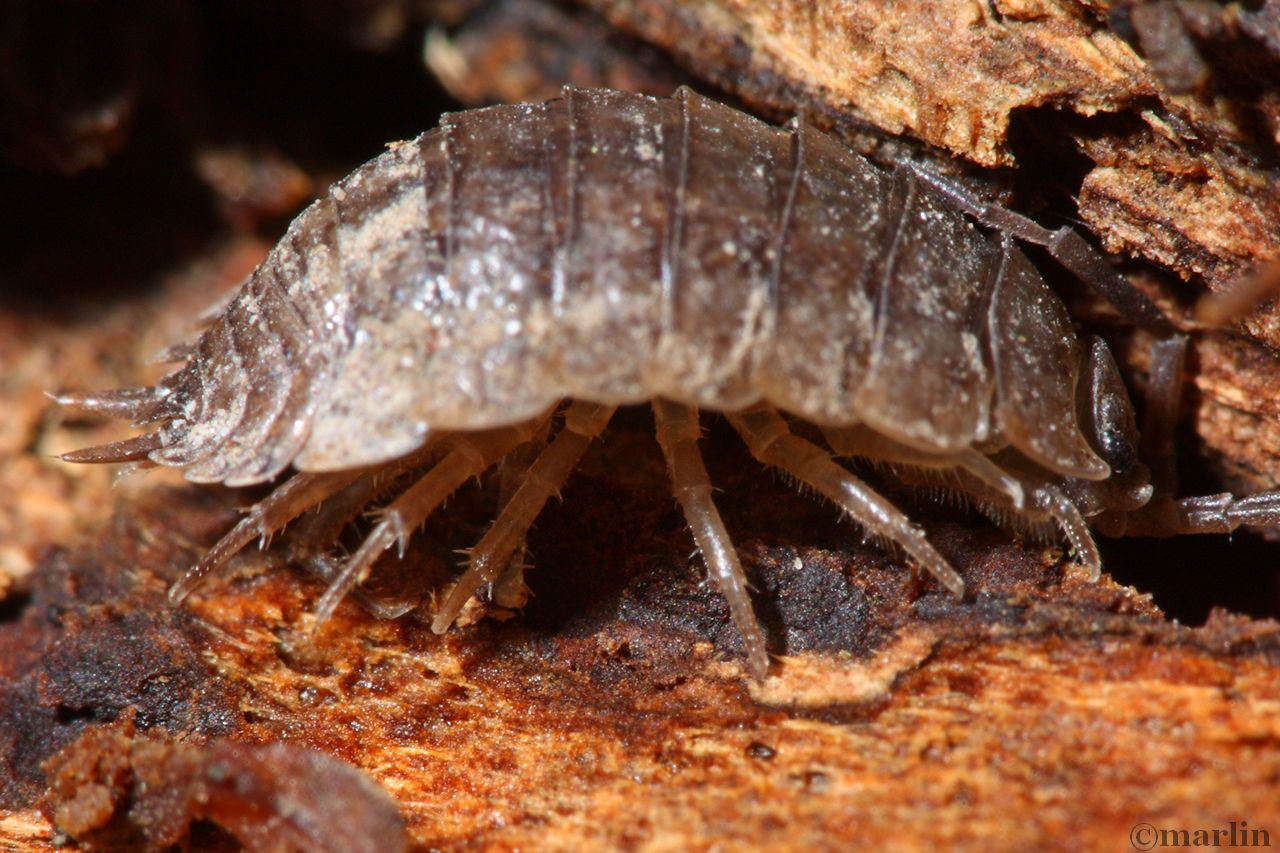 Isopod: equal legs