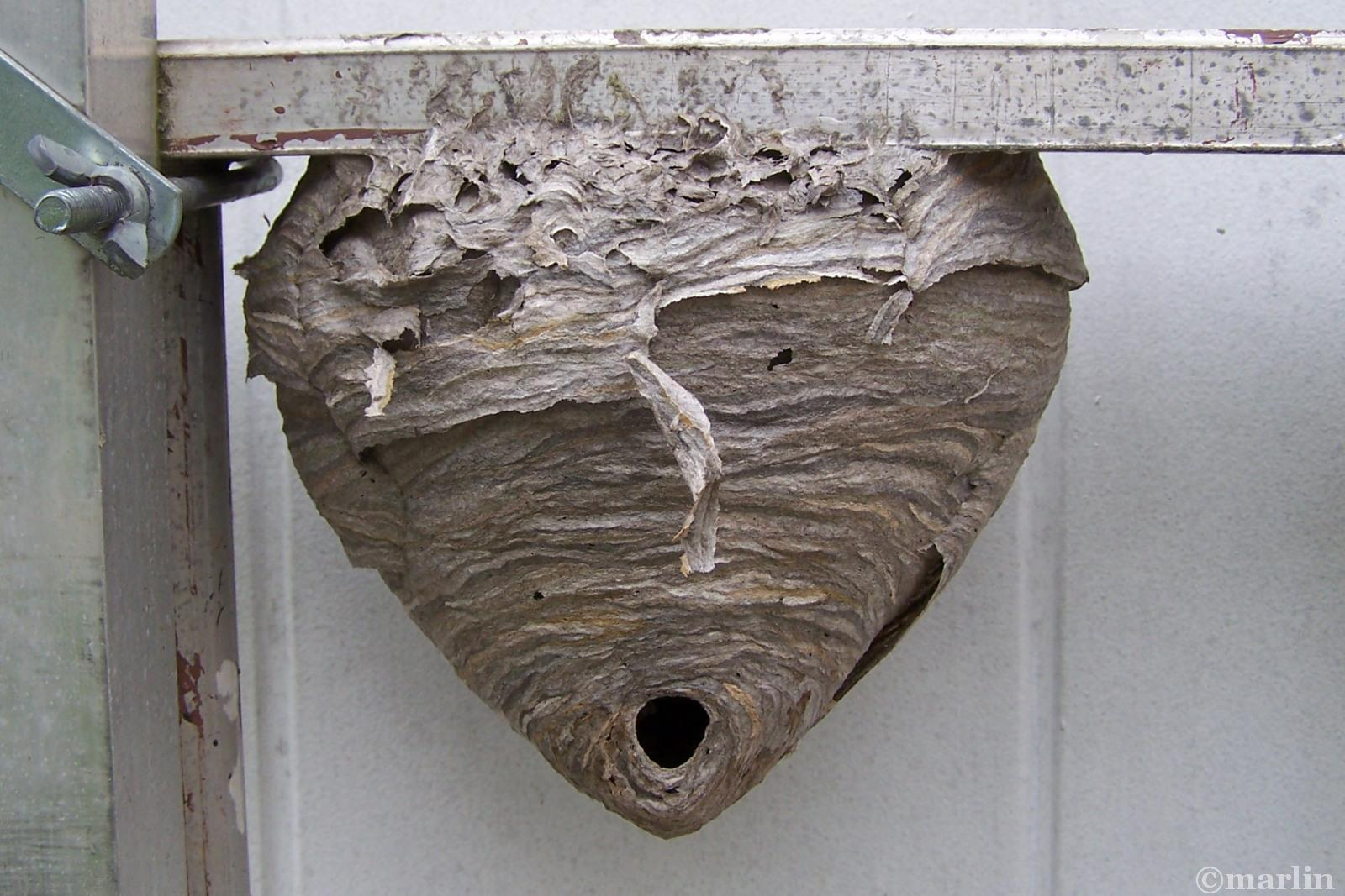 bald-faced-hornet-nest
