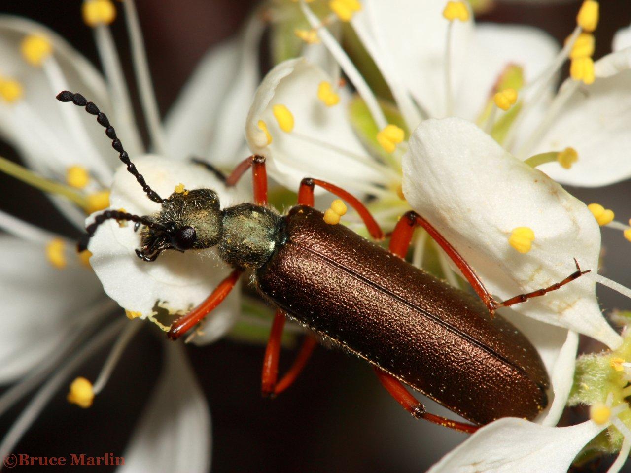 Blister Beetle Lytta aenea