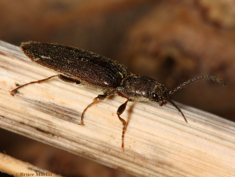 Click Beetle Sylvanelater cylindriformis