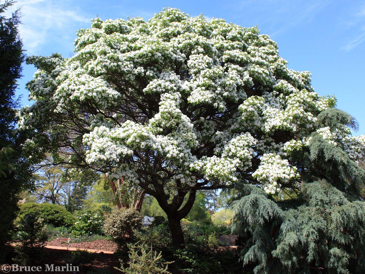 Oleaceae - Olive Family - Chinese Fringe Tree