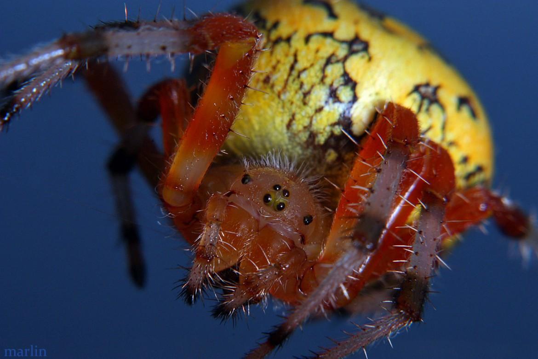Marbled Orbweaver Female
