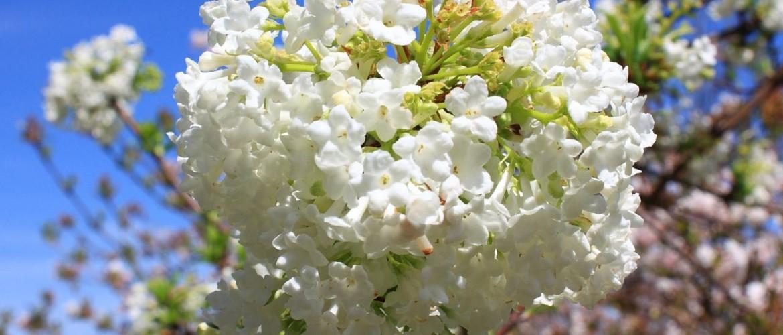 Adoxaceae Viburnum flowers