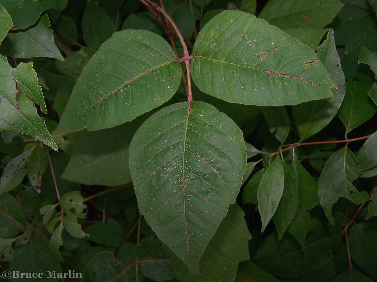 Poison ivy triple leaflets