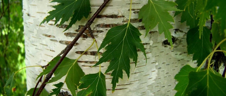 Family Betulaceae - Birch, Alder & Hornbeam