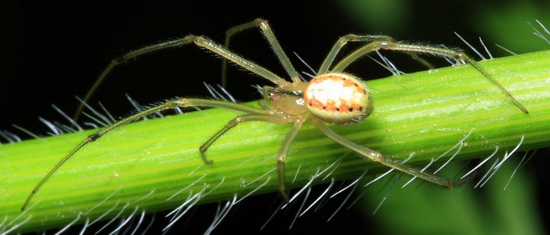 Cobweb Spider - Enoplognatha ovata