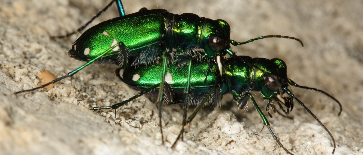 Six-spotted green tiger beetles