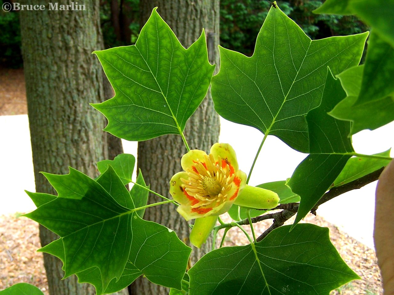 Magnolia Family; Tuliptree flower & foliage